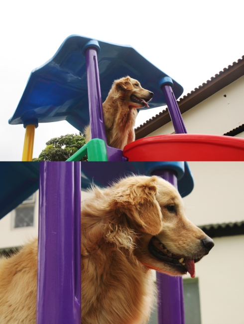 """cachorro creche daycare dog dogs cães cão animal animals são paulo sp dogplace dogresort dogspa dogfun piscina fisioterapia reabilitação doggourmet gourmet dogrelax """"esteira aquática"""" acupuntura cromoterapia sofás almofadas relaxamento hotel hospedagem brinquedões quiosque lago curso recreação recreacionistas comportamentalismo comportamento socialização prevenção dicas golden"""