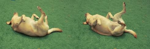 """cachorro creche daycare dog dogs cães cão animal animals são paulo sp dogplace dogresort dogspa dogfun piscina fisioterapia reabilitação doggourmet gourmet dogrelax """"esteira aquática"""" acupuntura cromoterapia sofás almofadas relaxamento hotel hospedagem brinquedões quiosque lago curso recreação recreacionistas comportamentalismo comportamento socialização prevenção dicas labrador"""