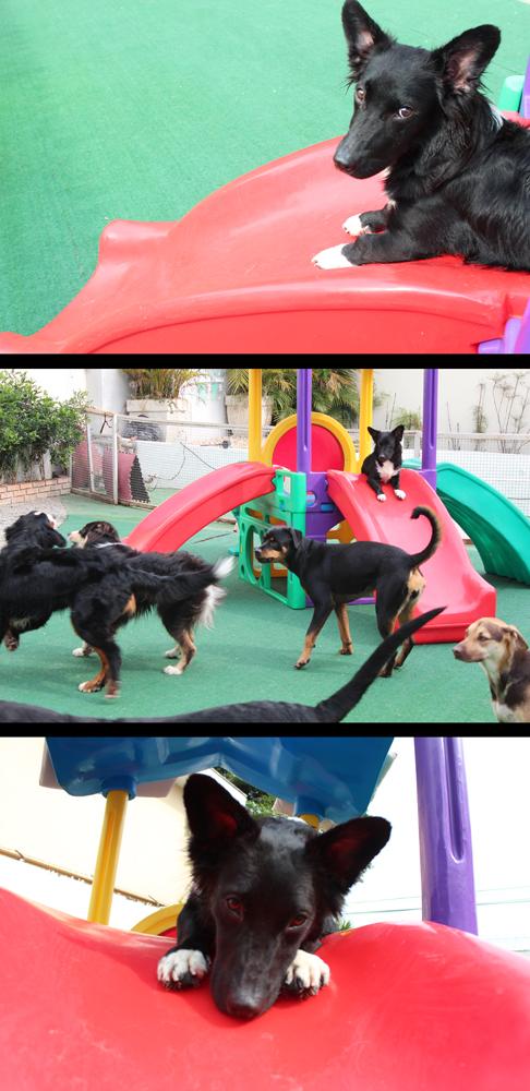 dogresort, cão, cachorro, daycare, são paulo, sp, dog, animais, enriquecimento ambiental, natação, piscina, lago, cromoterapia, fisioterapia, golden retriever, border collie, lhasa apso